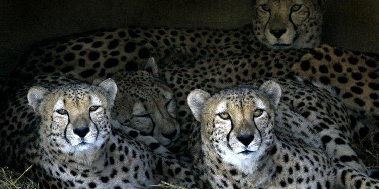 Toddler falls into cheetah
